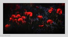 Midsummer Poppies (greeneyedlens) Tags: flowers red england sunlight english field dark movement long exposure wind poppy poppies backlit breeze