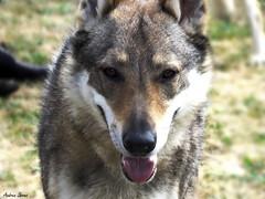 Perro Lobo Checo // Wolf Dog (Cazadora de Fotos) Tags: portrait cute love beautiful nice wolf retrato perro perros lobo animales lovely mascotas checo checoslovaco