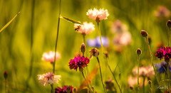 ]Busy morning  (T.ye) Tags: bee bokeh wild flowers lighting mood grass outside outdoor backlight     todd ye