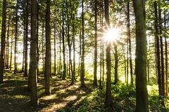 Der goldene Stern im Wald (ptrckmayer) Tags: sonne gold gelb grn baum bume tree landscape natur nature gegenlicht stern forest sommer heis