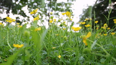 Midsummer (Hannhell) Tags: park flowers trees sky green nature beautiful yellow finland pretty midsummer bokeh