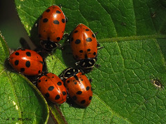 """Morning Briefing: """"Let's be careful out there.""""   Vancouver, British Columbia (Barra1man (Busy)) Tags: red canada macro green nature vancouver garden iso800 leaf britishcolumbia olympus foliage conference ladybugs predators vegetablegarden flyinginsects morningbriefing lens35mm f5614000 olympusem1"""