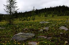 Flower Slope (pokoroto) Tags: summer canada flower june alberta slope 2016 6   minazuki   rokugatsu monthofwater 28