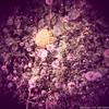 Löwenzahn und Pusteblumen (b-j-oe-r-n) Tags: munich münchen de bayern deutschland outdoor natur dia muc holga120cfn schlossnymphenburg löwenzahn fujiastiarap100f canoncanoscan9000fmarkii