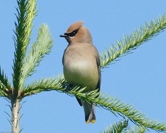 Cedar Waxwing (jaybirding) Tags: bird me us townhouse maine cedarwaxwing stormer northyarmouth leicavlux114