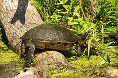 Florida Red Belly Turtle (Cooter) (Gary Helm) Tags: camera usa nature water animal canon outside us log image florida outdoor turtle wildlife shell powershot photograph gary cooter helm freshwater lakemarion osceolacounty floridaredbelliedturtle sx60hs ghelm4747 garyhelm