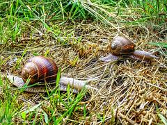 Schneckensport (Fotoamsel) Tags: deutschland tiere natur schnecken goslar niedersachsen