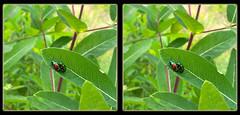 Chrysochus Auratus, Mating Dogbane Beetles - Crosseye 3D (DarkOnus) Tags: macro closeup wednesday insect stereogram 3d crosseye day phone pennsylvania cell stereo mating dogbane beetles stereography buckscounty hump huawei crossview auratus ihd chrysochus hihd mate8 insecthumpday darkonus
