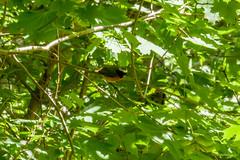 Common Redstart (katyarud) Tags: travel birds usedom  passeriformes  commonredstart phoenicurusphoenicurus muscicapidae