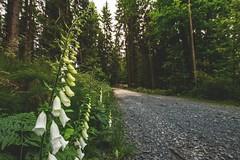 White Foxglove (Stephanie Mnner Photography) Tags: canon outdoor natur pflanze blume wald baum farn weg wegesrand fingerhut wanderweg