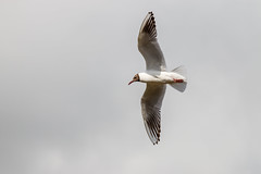 67Jovi-20160626-0002.jpg (67JOVI) Tags: valencia aves gaviota albufera volando racodelolla