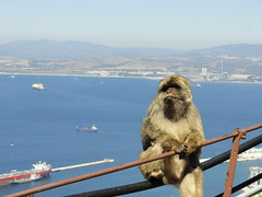 Monkey Just Chilling (Jessica Splain) Tags: monkey gibraltar rockofgibraltar barbaryape barbarymacaque