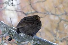 Mrs Blackbird in January. (gunnar.berenmark) Tags: winter bird female vinter turdusmerula fgel commonblackbird hona koltrast uppburrad