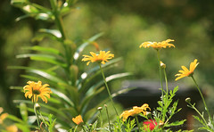 Jun 9: Sunny Garden Flowers (johan.pipet) Tags: flickr garden zhrada nature flowers kvety zhon flowerbed macro detail bokeh green sunny yellow bratislava dbravka slovakia slovensko europe palo bartos barto canon