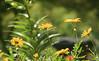 Jun 9: Sunny Garden Flowers (johan.pipet) Tags: flickr garden záhrada nature flowers kvety záhon flowerbed macro detail bokeh green sunny yellow bratislava dúbravka slovakia slovensko europe palo bartos bartoš canon
