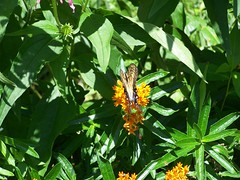 Lunch Time (Flowers Galore) Tags: flowers summer nature butterfly garden butterflyweed asclepiastuberosa butterflyattractant beeattractant perennialbloomer antattractant