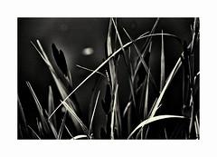 IMG_9698br (www.polahphotography.com) Tags: monochrome grasses lightanddark
