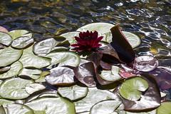 Red water lily (Lucie Maru) Tags: flowers summer white flower water pond lily floating lilies waterlilies buds blooms float blooming whitebloom tranquality tranqual floatingonwater flowersonwater orangecenter