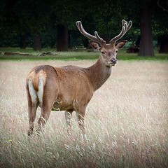 Cool #stag in #richmondpark #deer #eastsheen #nature (lsdscuba) Tags: scuba lsd instagram ifttt