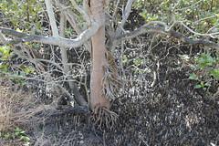 SOP-040716-010 (alison.klein) Tags: wetlands mangroves sydneyolympicpark