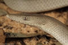 Burton's Legless Lizard (Lialis burtonis) (jakemeney) Tags: jake reptile lizard burtons mallee herpetology legless pygopod burtonis lialis meney pygopodidae