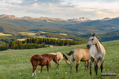 At Attention (kevin-palmer) Tags: bighornmountains wyoming littlegoosecanyon horses grazing graze freerange evening july summer bighornnationalforest pasture tamron2470mmf28 nikond750