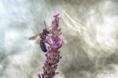 sur une lavande perch (safran83) Tags: bee asiatique frelon trioplan