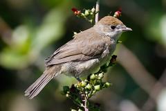 _F0A3748.jpg (Kico Lopez) Tags: birds rio spain aves galicia lugo mio sylviaatricapilla currucacapirotada