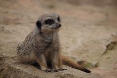Oleg...... (klythawk) Tags: brown black green nature grey spring meerkat beige rocks dof wildlife olympus omd doncaster em1 40150mm branton 14xtc yorkshirewildlifepark klythawk