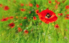 The Daily Commute (The Vegan Taff Photography) Tags: uk flowers summer plants plant flower green nature field grass southwales wales outside outdoors bright zoom bokeh outdoor cymru depthoffield bee poppy poppies colourful honeybee edit poppyfield
