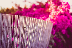 Side By Side (thethomsn) Tags: sidebyside fence pink floral dof bamboo sunset mood italy sardinia bokeh flowers focus dreamy magical line outdoors vibrantcolors sigma 30mm thethomsn hff fencefriday zaun bambus