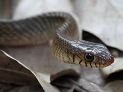 Slithering Serpent (SivamDesign) Tags: canon eos 550d rebel t2i kiss x4 300mm tele canonef300mmf4lisusm fauna animal backyard rat snake ptyasmucosus ratsnake orientalratsnake