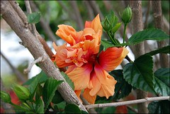 Naturally Lovely (matlacha) Tags: flowers orange tree nature garden costarica hotelbougainvillea