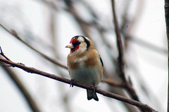 Goldfinch2 (catman1515) Tags: goldfinch scottishwildlife highlandwildlife sutherlandwildlife