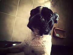 Time for a bath... (ninios77) Tags: dog cute dogs wet fur french bath towel bulldog tub frenchbulldog hugo bathing breed frenchies wetdogs frenchy frenchbuldog uploaded:by=flickrmobile flickriosapp:filter=mammoth mammothfilter httphugofrenchytumblrcom