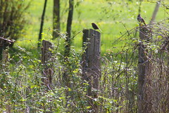 Pair of Song Sparrows ~ WMBD (NancyArmstrongThomson ~ back soon) Tags: ontario canada nature birds fence photo spring post bokeh pair may friday fenceposts birdwatcher railtrail songsparrow hff wmbd sooc earthnaturelife happyfencefriday pairofsongsparrows worldmigratorybirdday2013