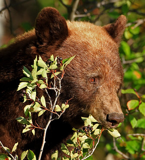 Black Bear (Brown or Cinnamon Phase)
