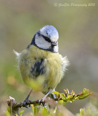 Fluffy (GemElle Photography) Tags: blue bird nikon bluetit gemelle sigma50500 d600 gemelle1
