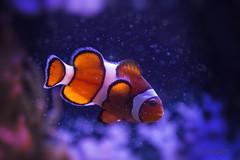Clown Fish IMG_0280 (IndyMcDuff (Bellifemine Studios)) Tags: fish canon aquarium nemo clownfish mystic tropicalfish marinelife t5i mindigtopponalwaysontop indymcduff invitingimages me2youphotographylevel1 takenwithhardwork