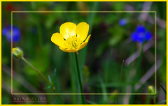 The Buttercup (brianac37) Tags: flowers england buttercup photoshopped dudley wildflowers westmidlands netherton