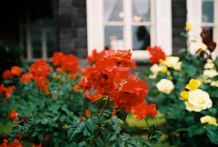 Windows and Roses (YasukiF) Tags: windows roses al pentax superia 400 fujifilm f18 limited smc lx xtra 31mm pentaxfa