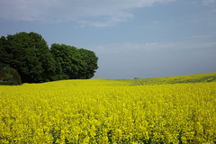 Fields of gold (Anne sterby) Tags: blue trees sky cloud tree green nature field yellow clouds canon lens landscape denmark eos gold countryside view mark trer natur tr may himmel zealand danish 5d canon5d 40 pancake mm 40mm danmark raps gul dansk skyer guld rapeseed udsigt bl sjlland mark2 grn 2013 lanskab filelds natureplus odsherred omrde canonef40mmf28stm brokkebjerg