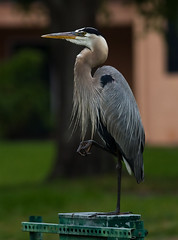 gara-azul-grande - Nome Cientfico: Ardea herodias (Linnaeus, 1758) - Nome em Ingls: Great Blue Heron (MarceloCamachobv) Tags: wood wild nature birds orlando florida aves jungle eua gara selvagem espetculo osceolacounty passaro threelakeswildlifemanagementarea