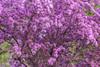 flowering plum (Gabriel Carlson) Tags: pink blur flower tree nature spring motionblur floweringtree floweringplum