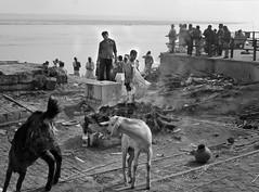 Cremation with Goats - D7K 4214 ep gs (Eric.Parker) Tags: bw india river dawn boat bath paddle holy varanasi bathe oar rowboat kashi pilgrimage ganga ganges banaras benares ghat 2011 ritualbathing