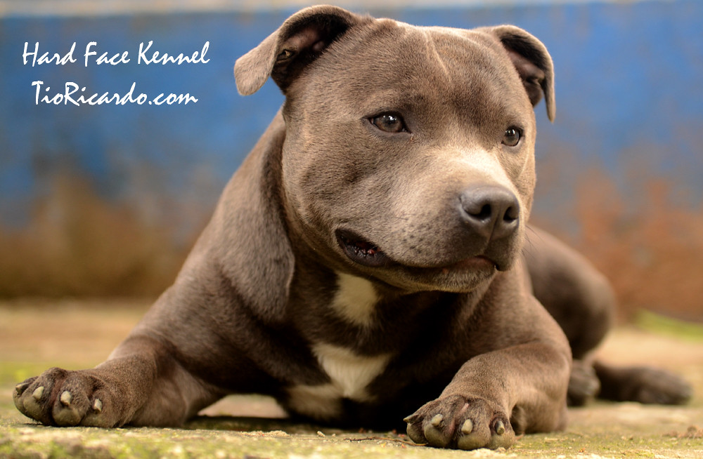 Famosos The World's Best Photos by HARD FACE KENNEL - STAFFBULL - Flickr  FJ63