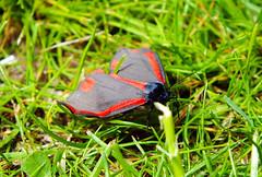 Cinnabar Moth (Marcus T Ward) Tags: sunlight grass shiny moth ground shining landed cinnabar
