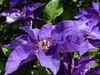Clematis (Gartenzauber) Tags: floralfantasy thegalaxy perfectpetals simplysuperb hennysgardens pazziperifiori lovelynewflickr