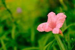 Pink Flower :-) (preetzzfeatzz) Tags: flowers greenery waterdrops hotpicks