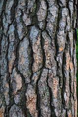 Pine Bark (Syed Shuvra) Tags: pine nikon bark treebark pinebark d5100